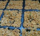 タイガーナッツ発芽写真
