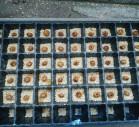 タイガーナッツの種まき