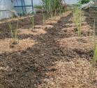 畑のタイガーナッツ